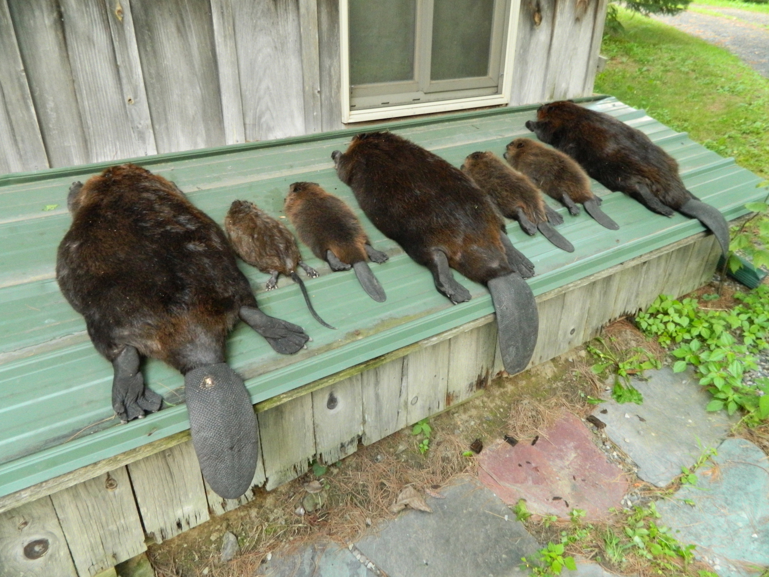 Comstock Beaver Cage Takes All Sizes