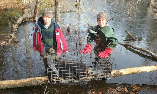 Starting Out Early using Comstock Swim Through Beaver Cage Traps