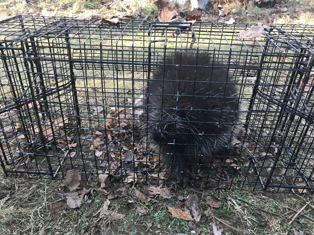 Porcupine in a Comstock Swim Through Beaver Cage Trap