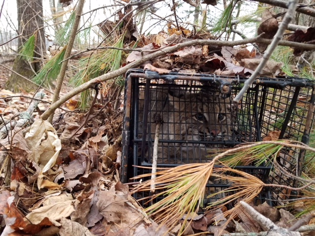 30 Pound Bobcat in a Comstock 12x12x36, Double Door, Powered, Cage Trap