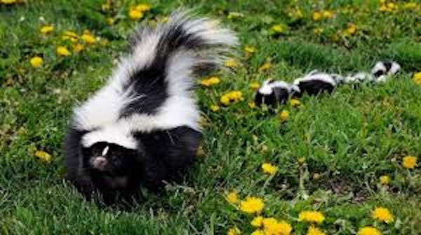 Skunks Don't Stink, No Spray
