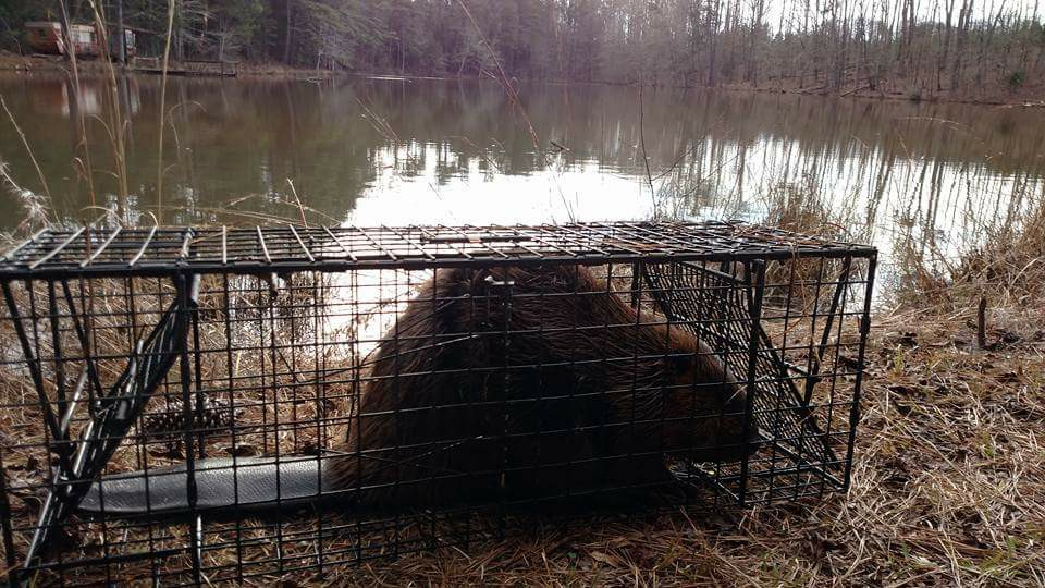 Quick reminder for the 12x18x39 Beaver Cage Trap