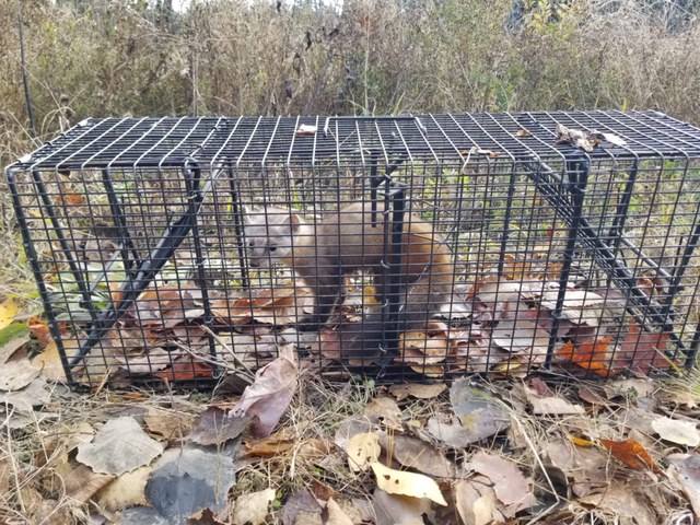 Marten in a Comstock Cage!