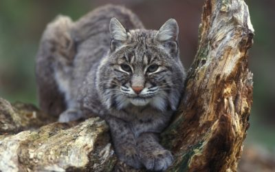 Perspective—Big Bobcats / Smaller Comstock Cage Traps