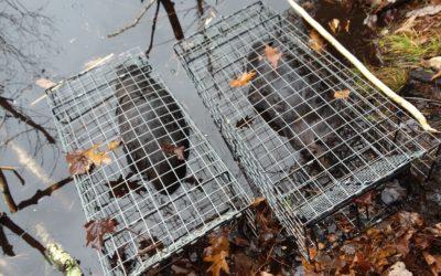The Most Versatile Beaver Trap !