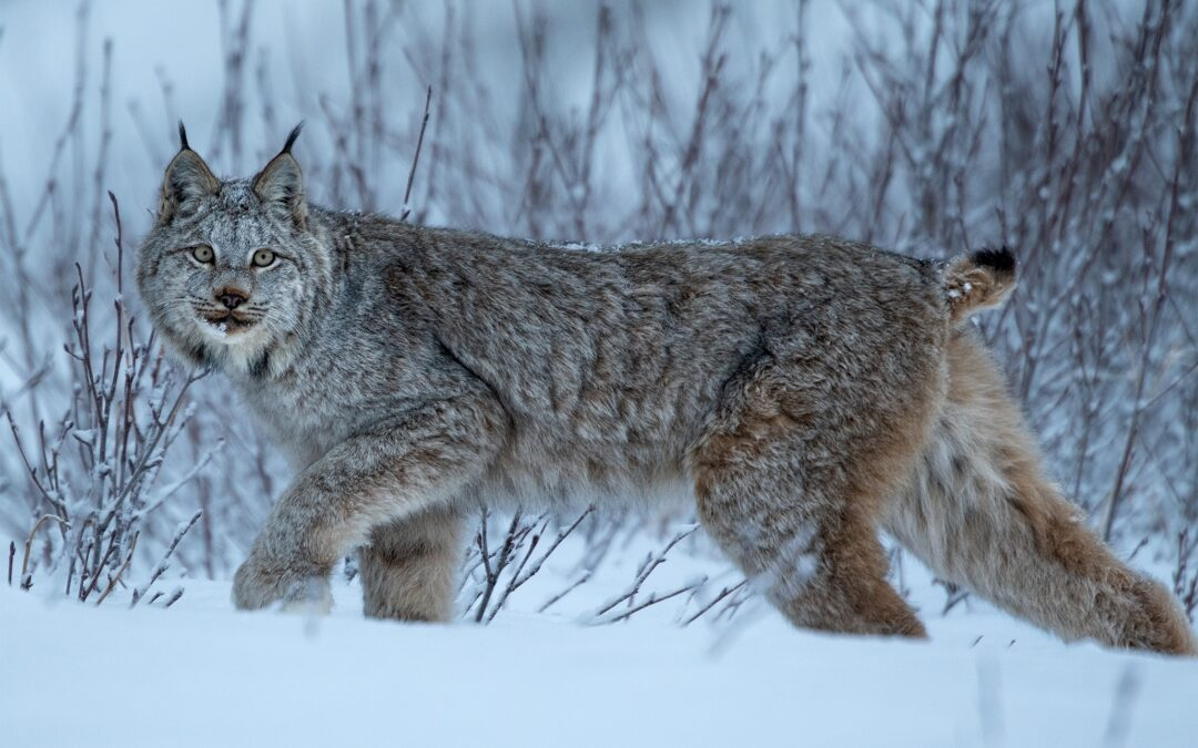 Encounter with Lynx